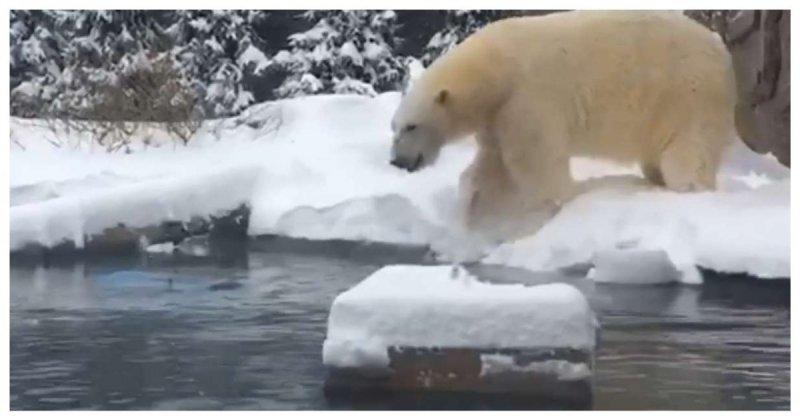 Белый медведь резвится в сугробах после снежного шторма в США