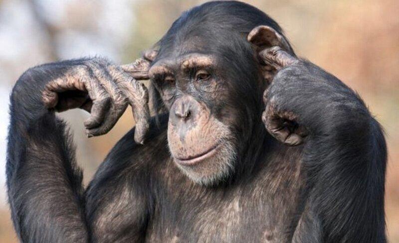 В Швейцарии у шимпанзе скоро могут появиться человеческие права