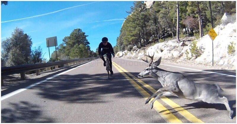 Олень застал врасплох  велосипедиста