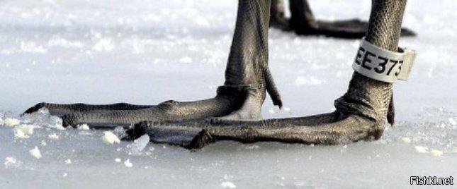 Орнитолог обалдел, когда окольцованная им ворона сказала: «Я согласна