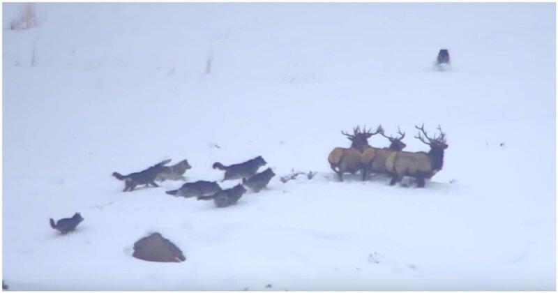 Турист запечатлел драматичную сцену охоты стаи волков на оленей