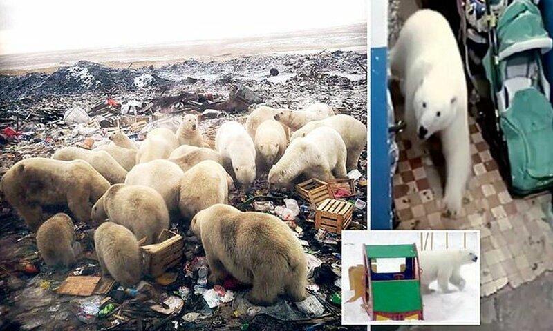 Полчища белых медведей вторглись на Новую Землю