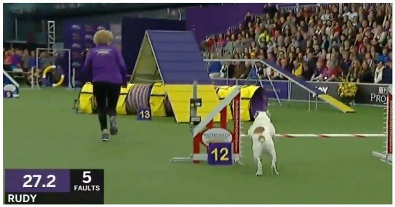 Бульдог мастерски преодолевает полосу препятствий на выставке собак