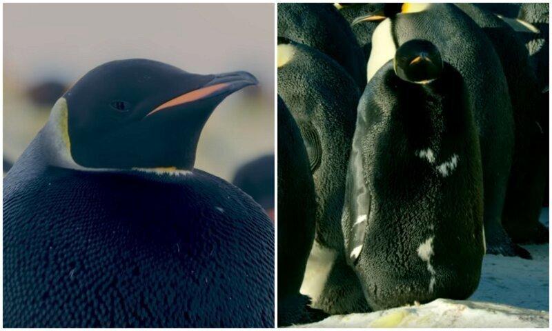 Редчайший черный пингвин впервые попал на видео