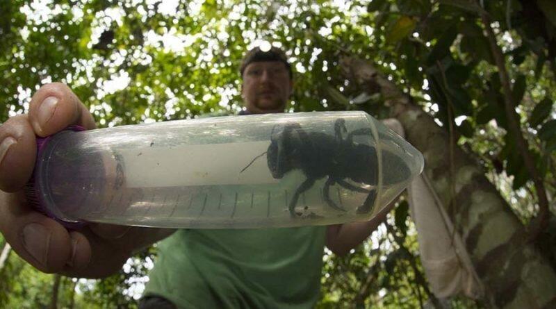 Летающий бульдог: Самую большую пчелу в мире, считавшуюся вымершей,  нашли в Индонезии
