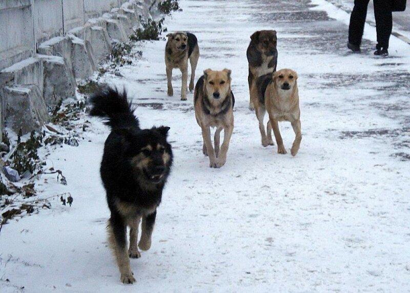 В Хакасии возбудили дело после нападения бродячих собак на девочку