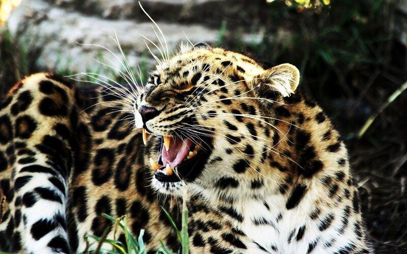Элегантная красота больших кошек
