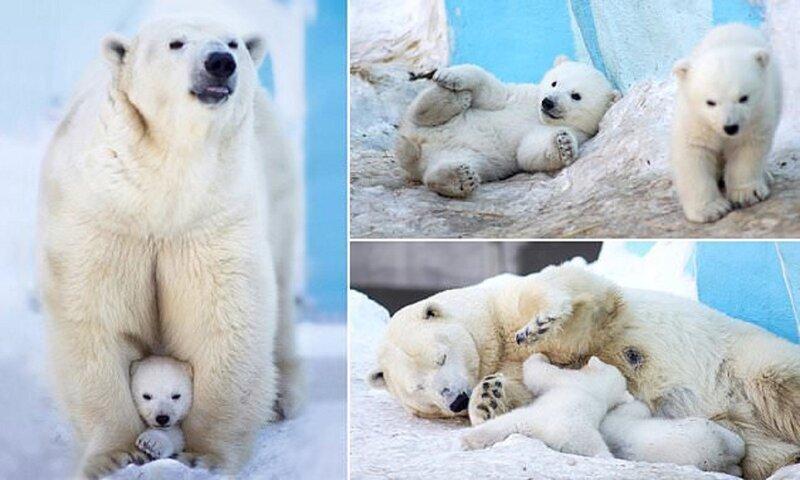 Белые медвежата в зоопарке Новосибирска впервые вышли из берлоги!