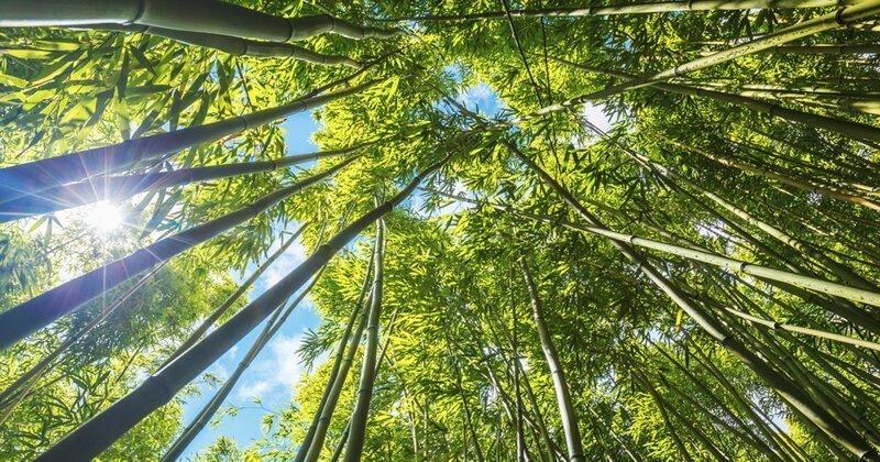 Правда ли, что бамбук может расти по метру в день?
