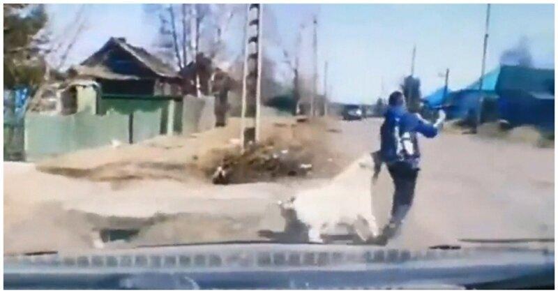 Огромный алабай напал на школьника в Красноярском крае