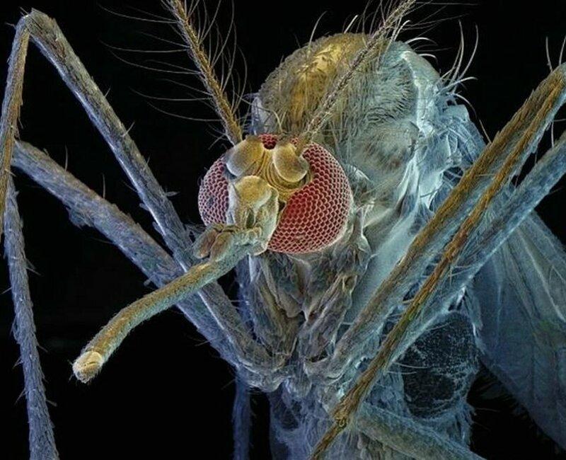 Комары на сахарной диете