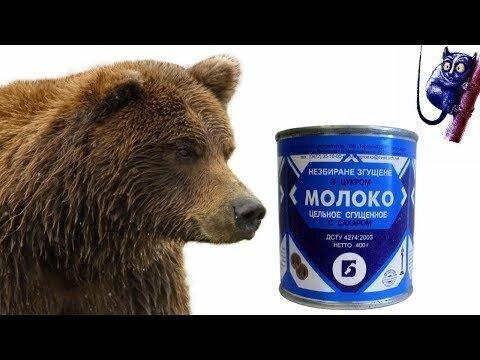 Медведь пытается вскрыть банку сгущённого молока