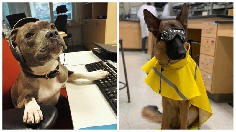45 милейших псов, которые стали незаменимыми сотрудниками на работе