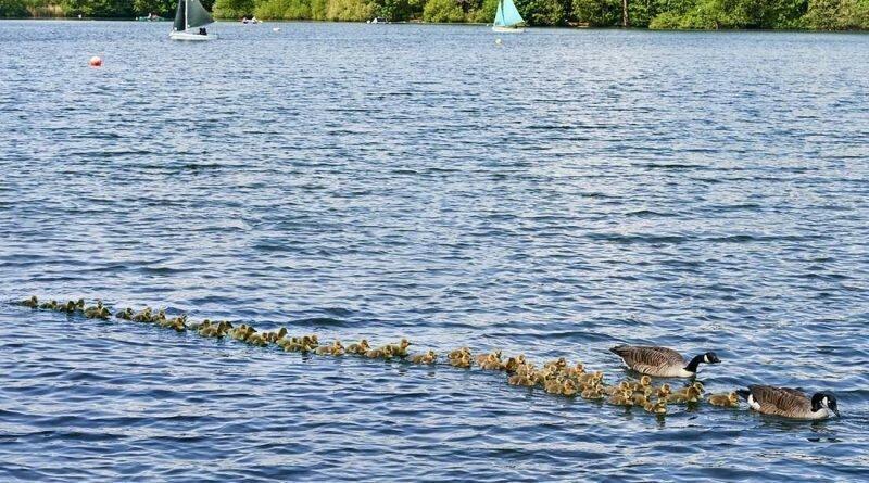 Канадские гуси гордо вывели более 50 птенцов поплавать под лучами весеннего солнца