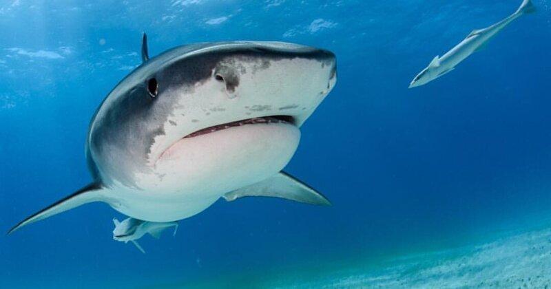 Ученым удалось установить, кто является самой необычной жертвой тигровых акул