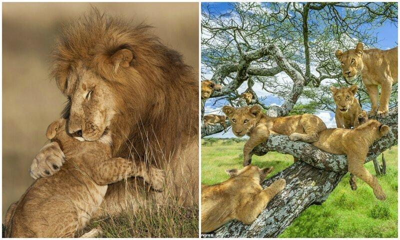 Цари зверей: 10 фотографий львов, признанные лучшими