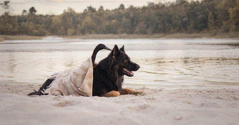Просто вместе: неожиданная дружба между собакой и уткой