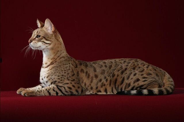 Топ-5 самых дорогих пород кошек в мире!