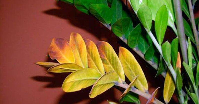 Почему желтеют листья после пересадки?