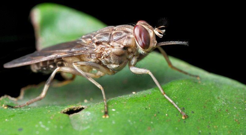 Чем опасна муха цеце?