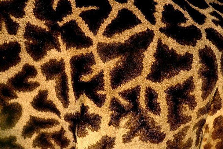 Текстуры в природе: шкуры животных