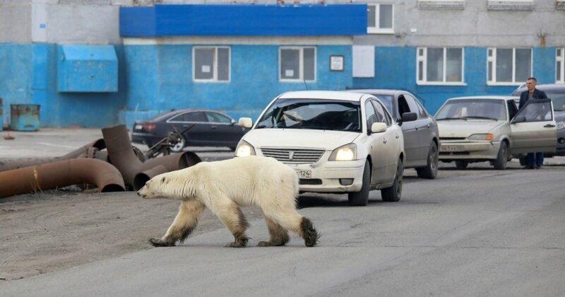 В Норильске белая медведица вышла к людям в поисках еды