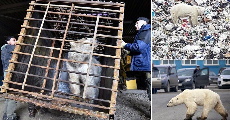 Конец блужданий: норильскую медведицу отправляют в зоопарк