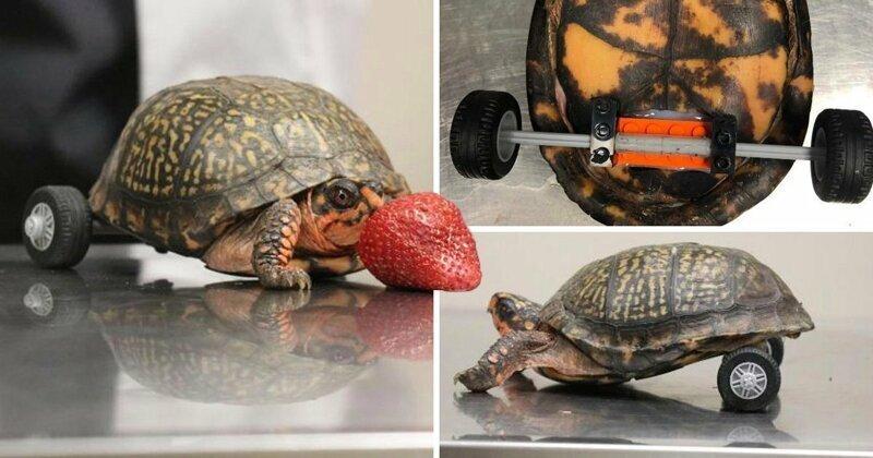 Черепаху, потерявшую задние конечности, поставили на Lego-протез