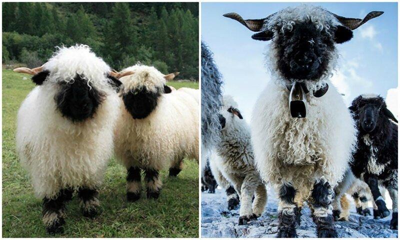 Черноносые овцы - предвестники апокалипсиса или милашки?