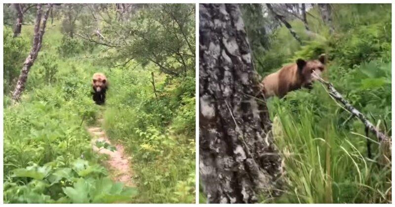 Внезапная встреча молодоженов с медведем гризли в лесу