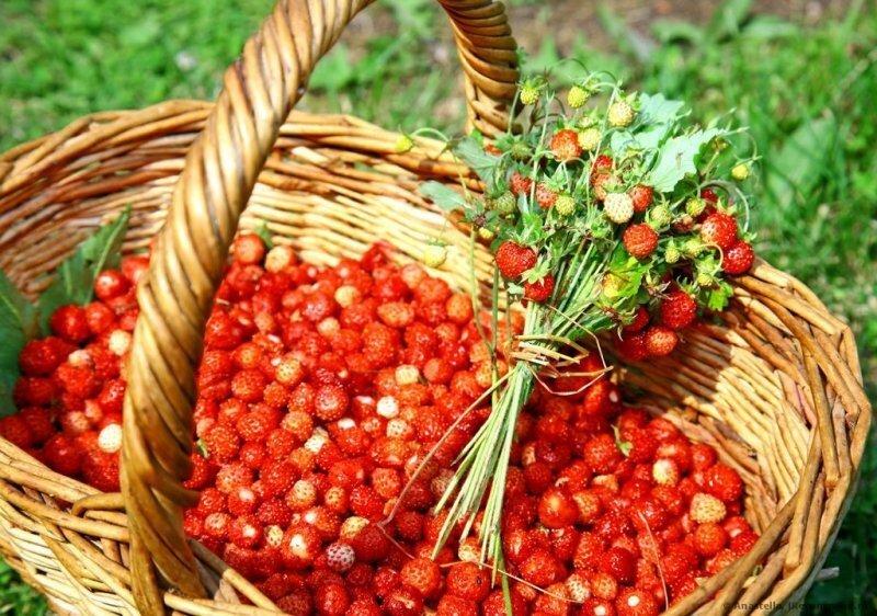 Съедобное или несъедобное: какие грибы и ягоды можно собирать в лесу без последствий