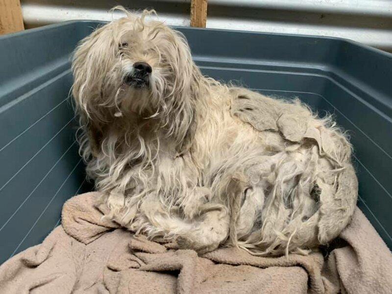 Пёс 7 лет не гулял на улице и оброс колтунами. Его преобразила стрижка