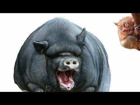 Кормим японских свинок