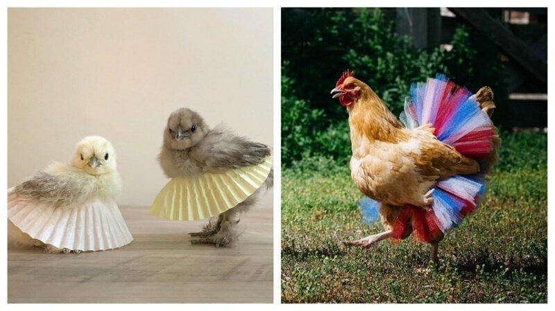 Куриное озеро: цыплята и куры в балетных пачках