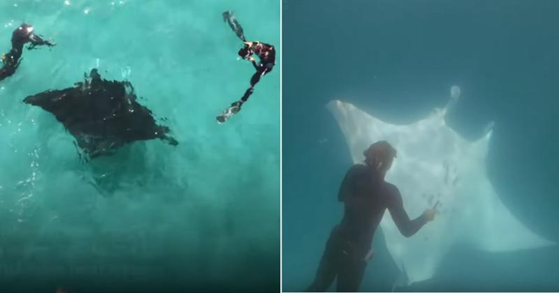 Гигантский скат попросил помощи у дайверов: видео