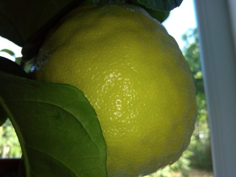 Гигантский лимон размером 30 сантиметров