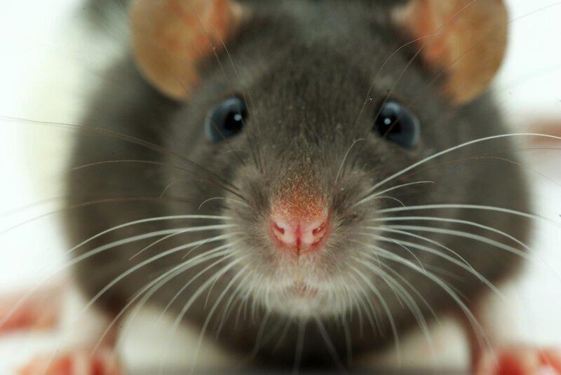 Почему крысы бегут с корабля?