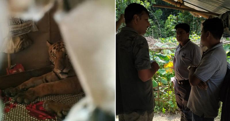 Изможденная тигрица забралась в дом, где уснула на кровати