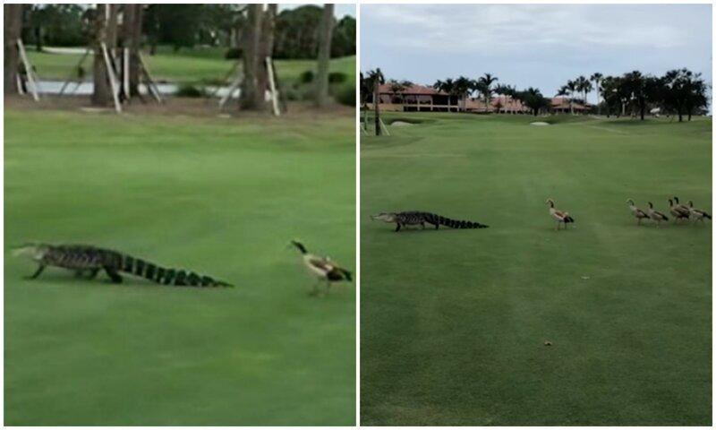 Видео: гуси прогнали наглого аллигатора с поля для гольфа