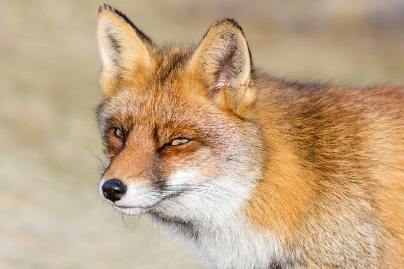 Почему лиса в сказках носит отчество Патрикеевна?