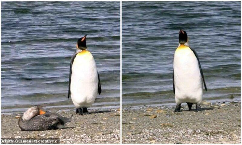 Туристы Фолклендских островов засняли забавную реакцию пингвина на утку