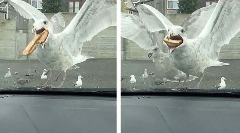 Голодная чайка с легкостью расправилась с крупным куском пирога