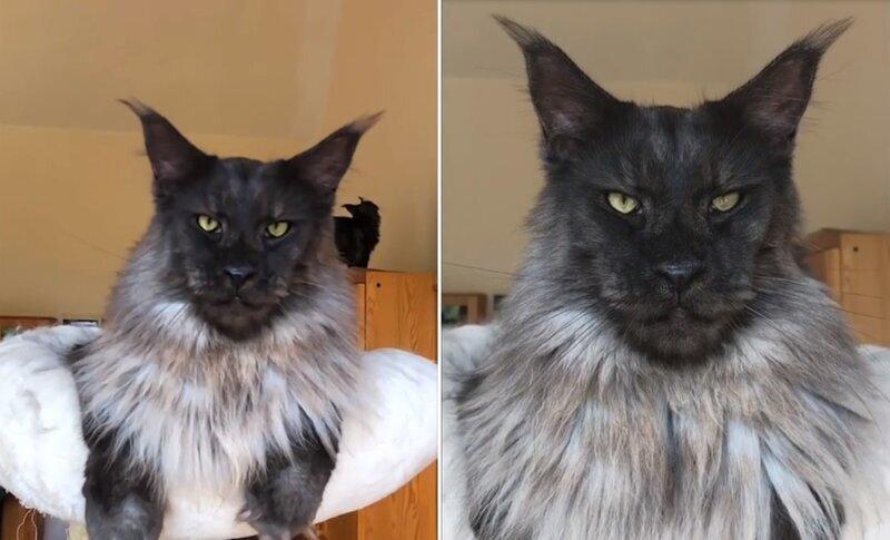 «Оборотень!»: гигантский кот мейн-кун заставил соцсети благоговеть