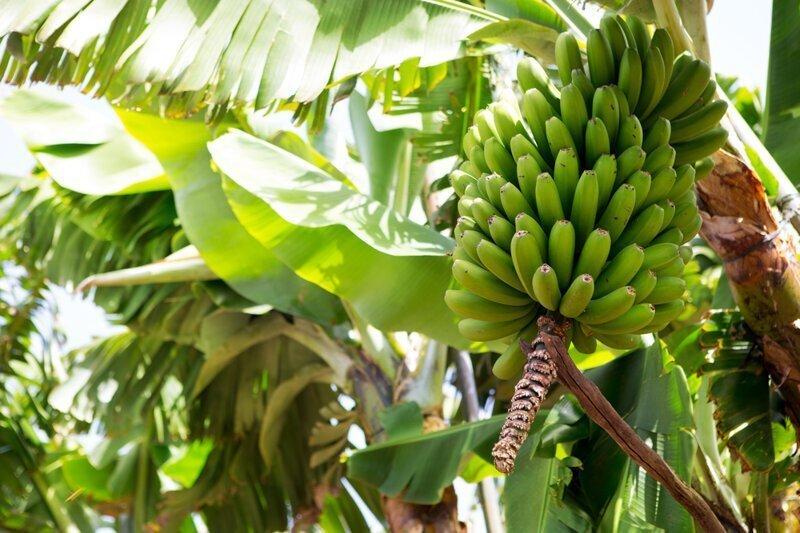 Почему банан считают травой?