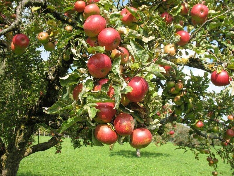 Можно ли сорвать яблоко с ветки, которая перевесилась на мой участок
