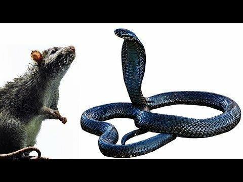 Как кобра охотится на крысу