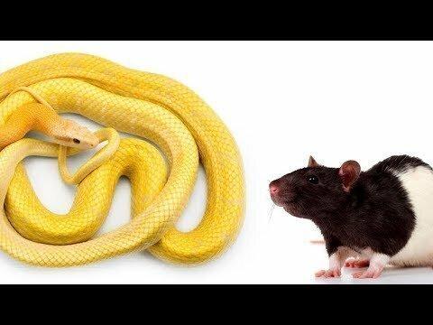 Полоз глотает мышь