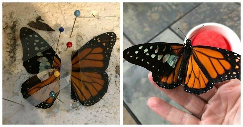 Мастерица проводит успешные операции по пересадке крыльев бабочкам