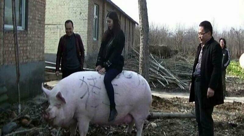 В Китае из-за нехватки свинины выращивают свиней-гигантов