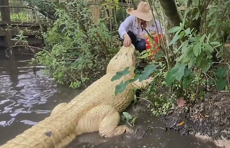 Бесстрашная работница заповедника с руки покормила редкого лейцистического аллигатора